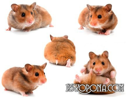 Clipart PSD Hamsters free download
