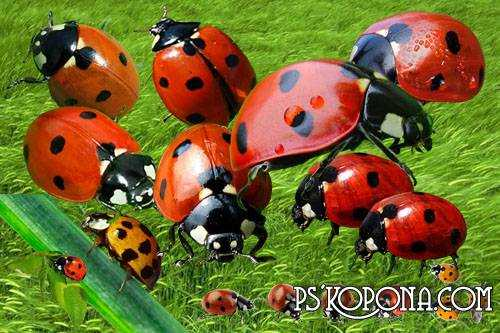 Clipart psd Amusing Ladybirds free download