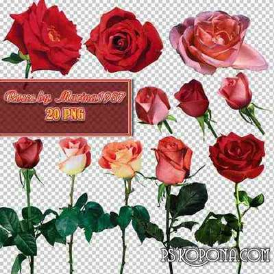 PNG graphics on a transparent background - Roses in PNG (Part 1)