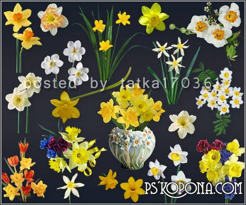 Floral clipart for Photoshop - Yellow and white daffodils
