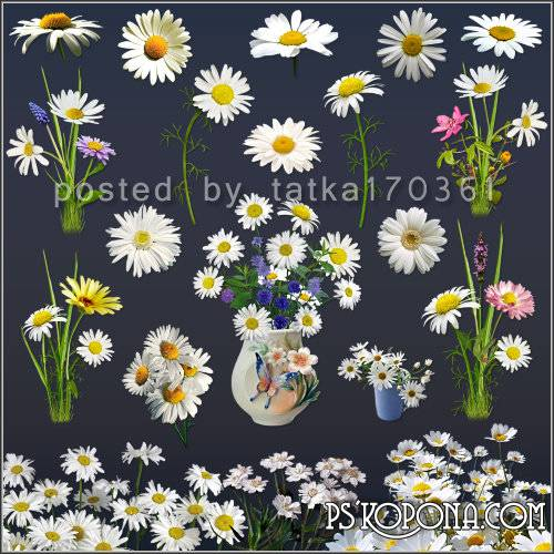 Floral clipart for Photoshop - Daisies white field and garden