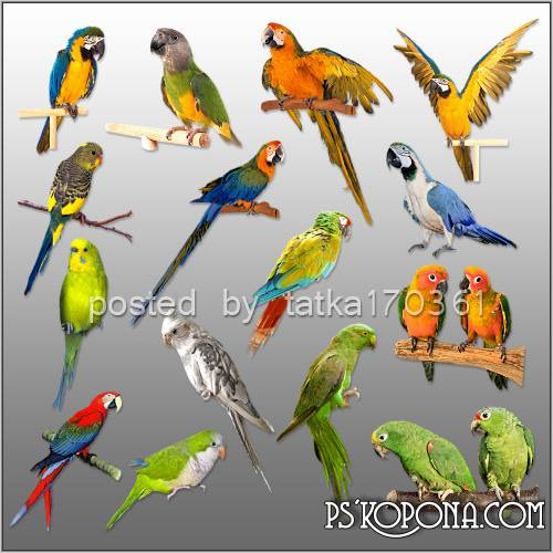 Clipart for Photoshop - Colorful parrots