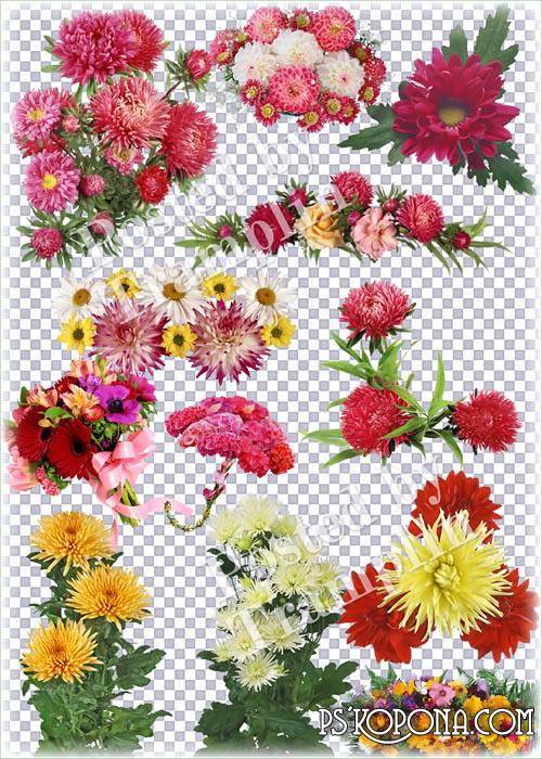 Flowers on a transparent background – Asters, Transvaal daisies, camomiles