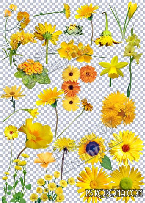 Yellow flowers on a transparent background - As the Sun rays they are light