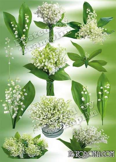 Lilies png images of the valley – Clipart png White florets crumbs and an arch a small stalk