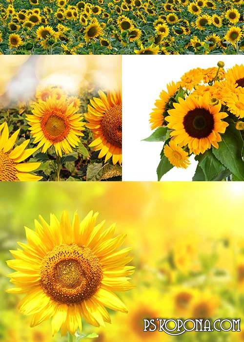 Sunflowers Backgrounds 2