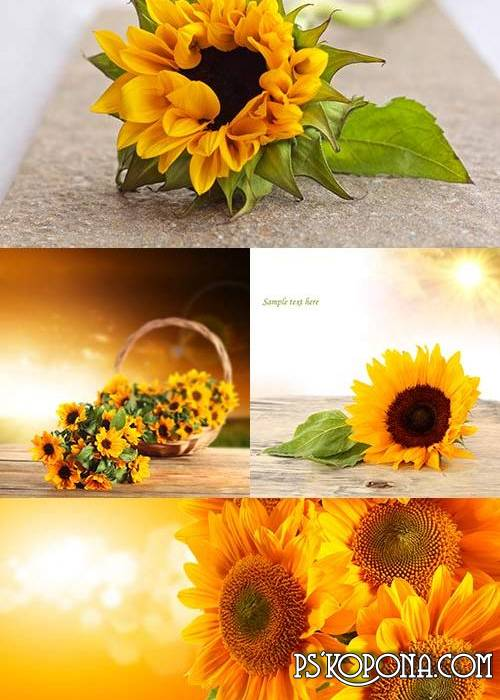 Backgrounds for designers in UHQ JPG format - bright Sunflowers