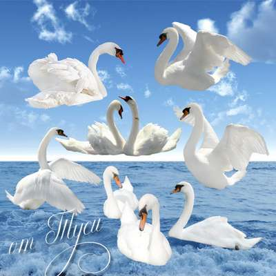 Clipart png - White swan png on a pond