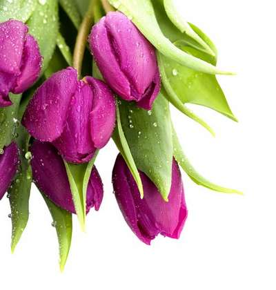 PNG on a transparent background - Multi-colored tulips free 11 png images