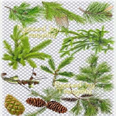 Free png images Branches of a fir-tree, larch png , cedar png with cones and without