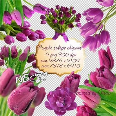 Purple tulips PNG download - free 9 png images (transparent background)