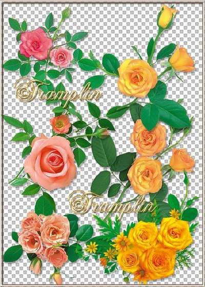Roses png on a transparent background download - And gentile and prickly (free 9 png)