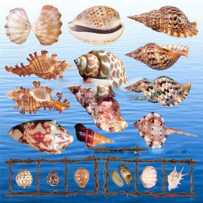 Clipart PNG - Sea Shells