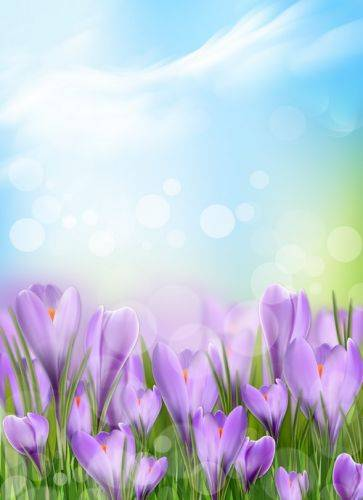Spring background PSD format with flowers of saffron