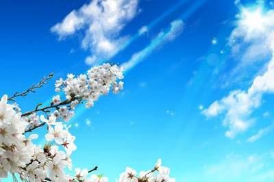 Sakura blossoms (multilayer PSD)