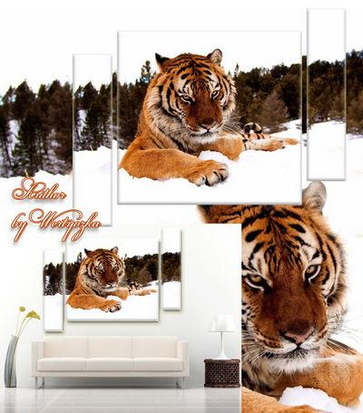 Tiger, feline predator, predatory cat - PSD source triptych