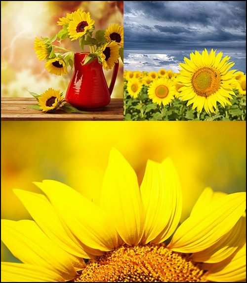 Sunflowers Backgrounds 3