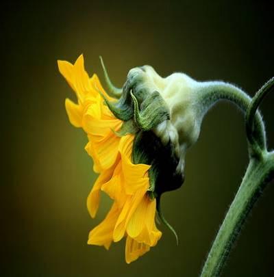 UHQ JPG Backgrounds - bright sunflowers