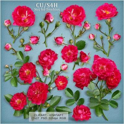 Free psd file - Red Rose, Scarlet, tea roses