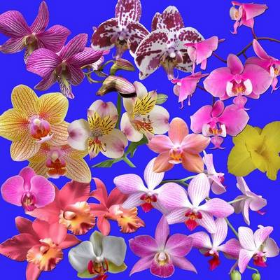 Free PSD Clipart Orchid - flower PSD elements Orchids Transparent Background
