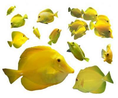 PSD clipart yellow fishes for Photoshop free download