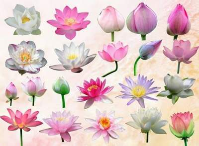 Flower Clipart free PSD file Water-lilies free download