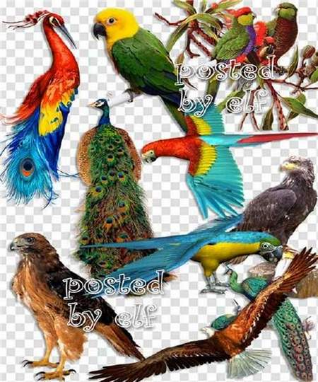 Birds png download - Peacocks, eagles, parrots on a transparent background
