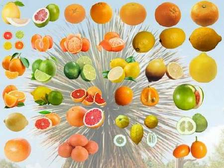Citrus fruits Clipart psd download - 33 free psd (transparent background)