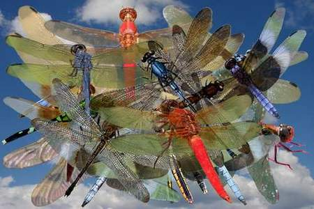 Dragonfly Clipart download - free psd file (transparent background)