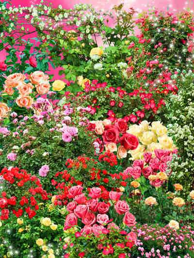 Bushes of beautiful roses psd ( free psd file, transparent background, free download )