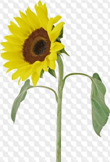Sunflowers on a transparent background