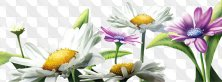 Chamomiles – Bouquets, glades, compositions on a transparent background