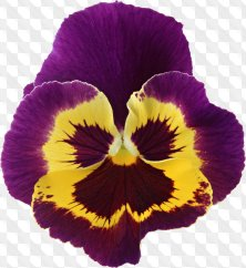 Flower clipart for Photoshop - Bright flowers of pansies