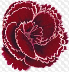 Flower clipart for Photoshop - Carnation different varieties