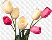 Floral png for Photoshop - Spring tulips png images