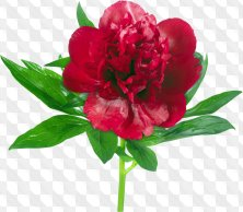 Floral clipart for Photoshop - Bright colorful peonies
