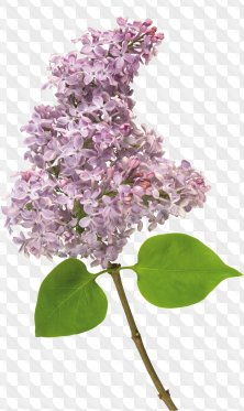 Floral png for Photoshop - Lilac, branches and flowers of lilac