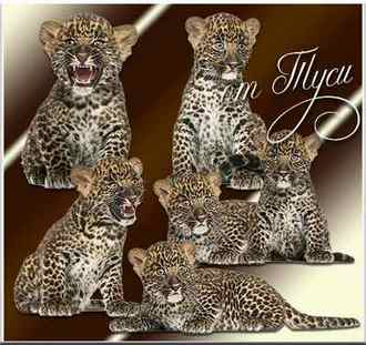 Tigers on a transparent background ( free psd download )