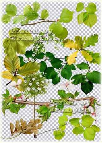 Green leaves png, branches with green leaves png, flowering branches png,