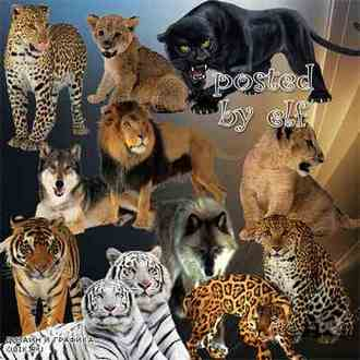 lion, tiger, panther, wolf, jaguar - Predatory animals png & Predatory animals Clipart png ( free 45 png on a transparent background download )