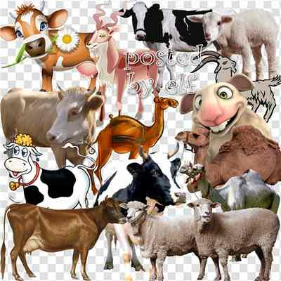 Sheep png, goats png, camels png, cows png