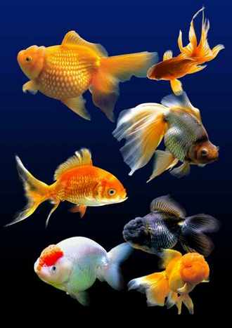 Goldfish PSD with transparent background download