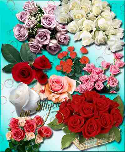 Roses with transparent background psd png download