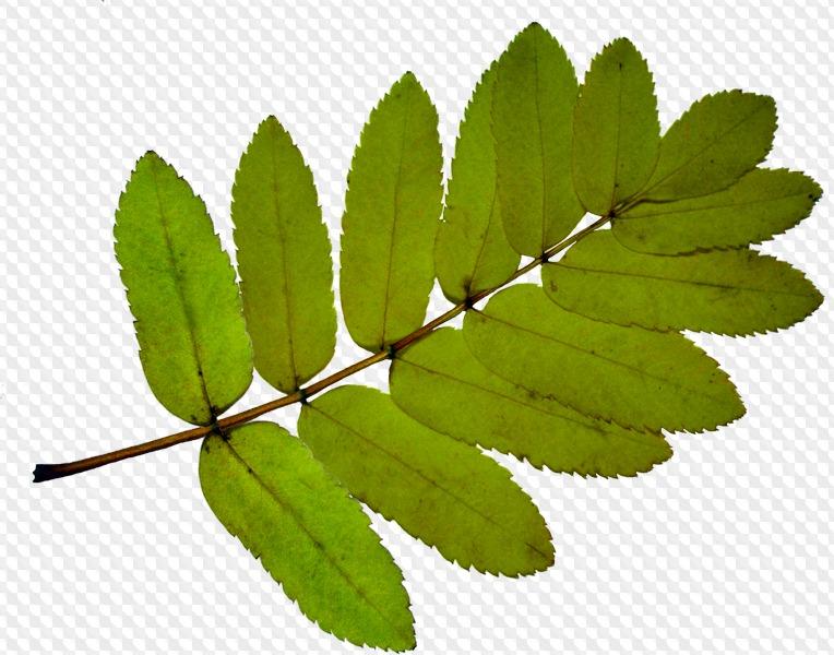 листья рябины в картинках девушка русыми