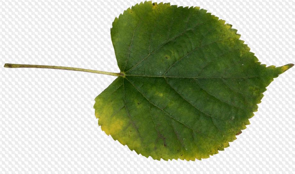 раз листья липа в картинках остановимся только пестролистных