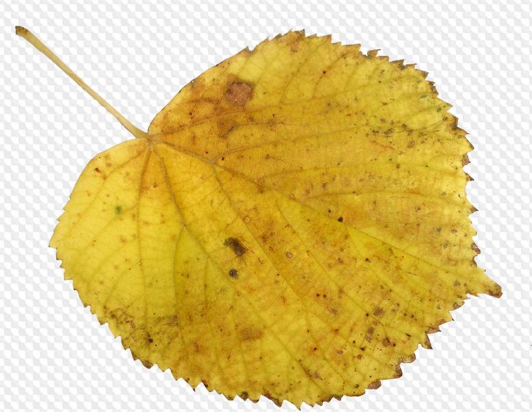 Картинка осенний березовый лист