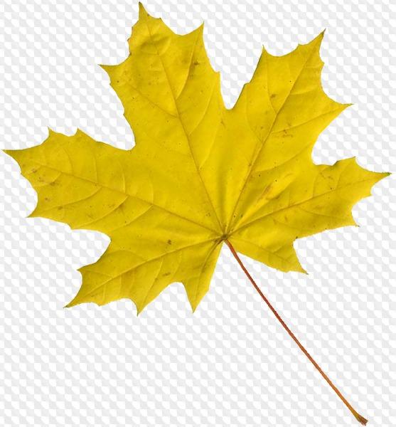 Psd Png Maple Leaf On Transparent Background