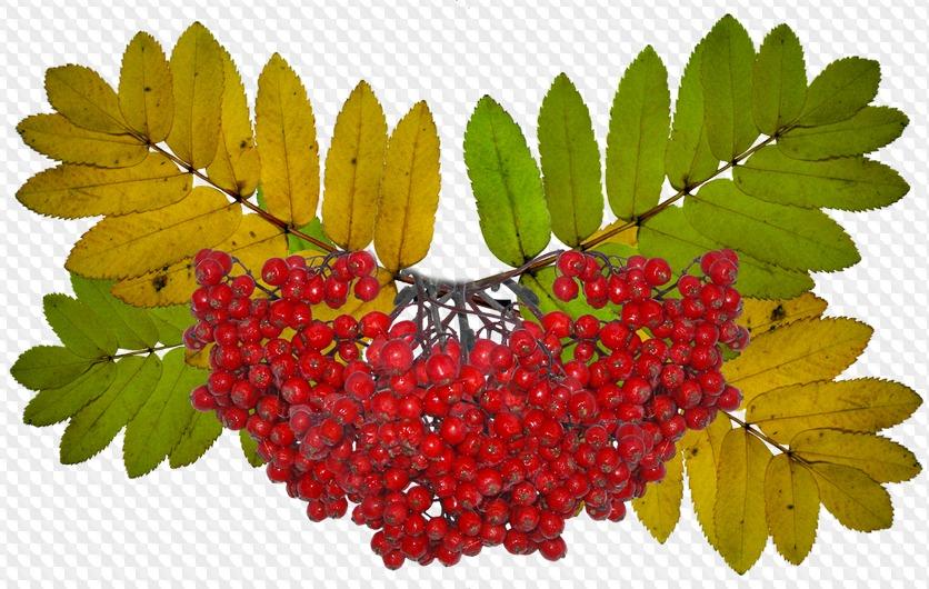 картинка осенние листья гроздья рябины эффект выделения