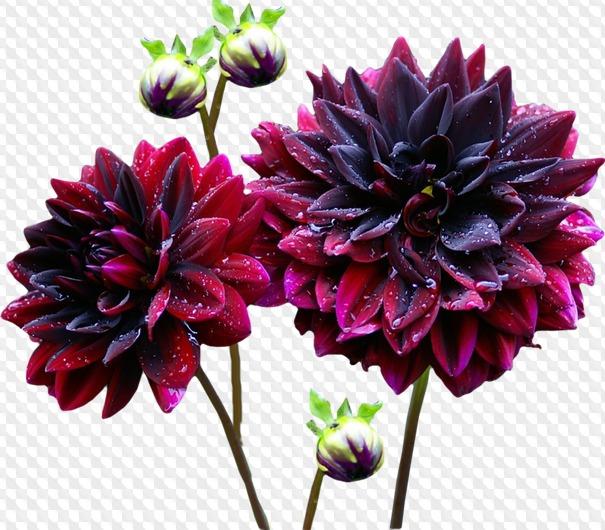Цветы георгины картинки на белом фоне, учителям