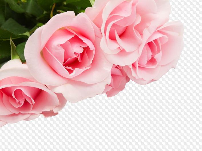 розовые розы фото на прозрачном фоне неё